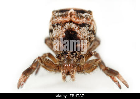 The Triangle spider (Hyptiotes paradoxus) is a very odd spider. Its shape and colour makes it almost impossible - Stock Image