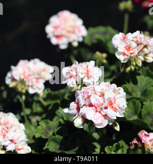 Multiple blooming light pink flowers with some green leaves an a dark background. Colorful closeup image taken during a sunny spring day. - Stock Image