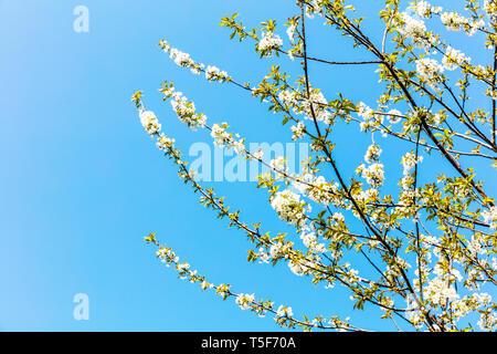 white cherry blossom flower, white cherry blossom tree, Prunus avium, cherry blossom, cherry blossom tree, cherry blossom flower, flowering, tree - Stock Image