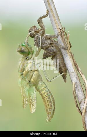 Dragonfly hatch, Four-spotted chaser (Libellula quadrimaculata), immediately after hatching, freshly hatched dragonfly hanging - Stock Image