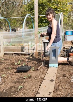 Female gardener planting brassicas in her allotment, England, UK - Stock Image