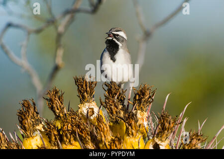A Black-throated Sparrow (Amphispiza bilineata) male singing from a perch on the fruits of a Fishhook Barrel Cactus (Ferocactus wislizeni) in the Sono - Stock Image