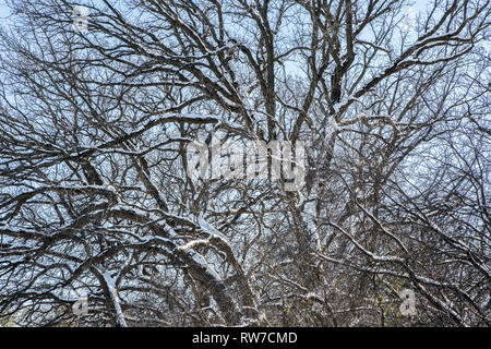 Snow Covered Tree and Branches against Blue Sky - Stock Image