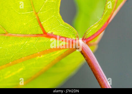 Vivid green leaf with red veins - Stock Image