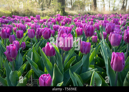 Traditional Dutch tulip field with purple flowers - Stock Image