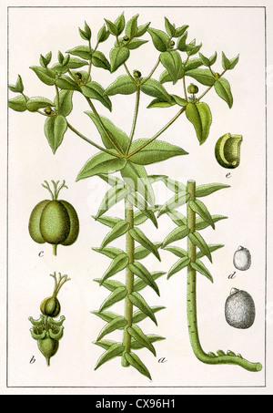 Euphorbia lathyris - Stock Image