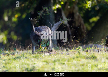 Fallow Deer (Dama dama), Buck Thrashing Grass with Antlers during Rut, Royal Deer Park, Klampenborg, Sjaelland, - Stock Image