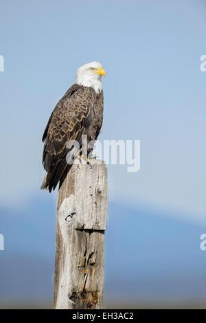 A bald eagle in the Klamath Basin in winter. - Stock Image