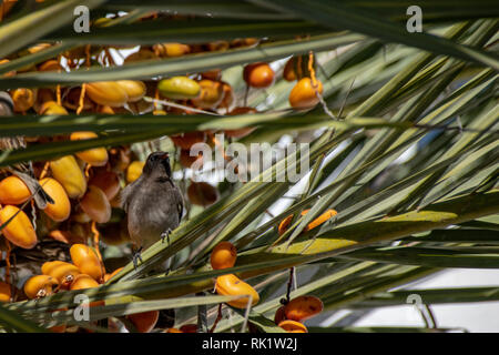 Common bulbul (Pycnonotus barbatus) collecting yellow date fruit from tropical palm tree - Stock Image