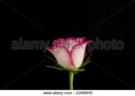 Pink and white rose black background close-up - Stock Image