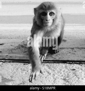 Macaque, Kathmandu - Stock Image