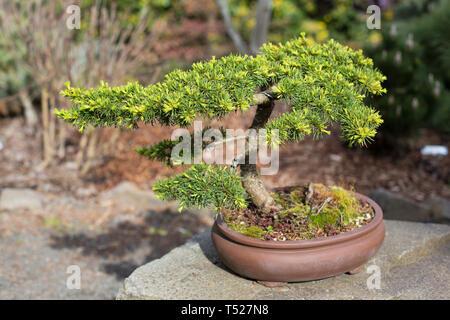 Cedrus libani 'Green Prince' - bonsai tree at the Oregon Garden in Silverton, Oregon, USA. - Stock Image