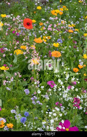 Blumenwiese, Wildblumenwiese, Wildblumen-Wiese, Blumenmischung, Wildblumen, Blumenmischung 'Eschweger Blütenzauber', Insektenschutz, wildflower meadow - Stock Image
