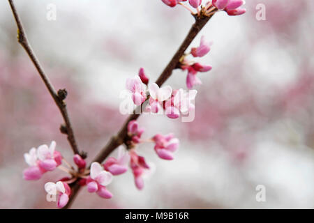 Cercis canadensis - Redbuds tree branch - Stock Image