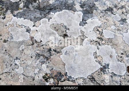 Lichen growing on boulders at Bruny Island, Tasmania, Australia - Stock Image