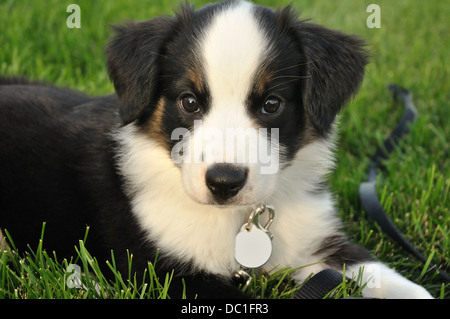 Collie dog puppy - Stock Image