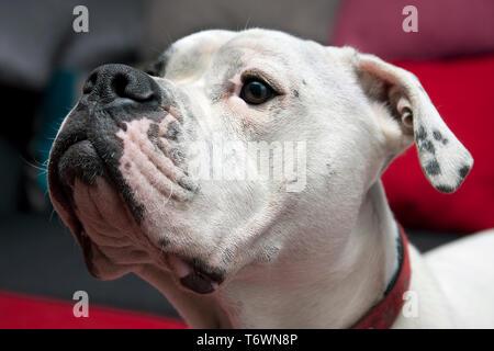 facial profile of Old Tyme bulldog - Stock Image