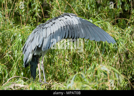 adult Grey Heron, (Ardea cinerea), preening with outstretched wing, London, United Kingdom, British Isles - Stock Image