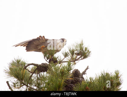 Peregrine Falcon in top of pine tree stretching wing and tail - Stock Image