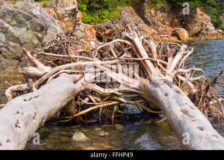 Intertwined roots of 2 fallen trees on the shore at Whytecliff Park, West Vancouver, BC, Canada. - Stock Image
