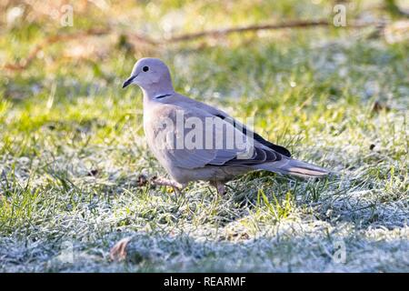 Hailsham, UK. 21st Jan 2019.UK weather. A Collared dove looks for food on a frost covered lawn this morning.Birds will struggle to find food in the cold weather predicted this week. Hailsham, East Sussex, UK. Credit: Ed Brown/Alamy Live News - Stock Image