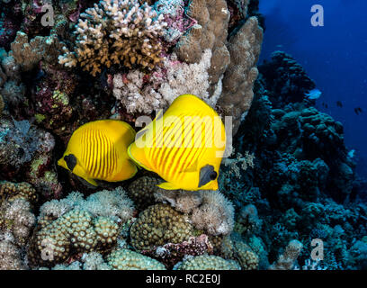 Masked Butterflyfish (Chaetodon semilarvatus) on the reef at Ruqia Island, Red Sea, Egypt - Stock Image