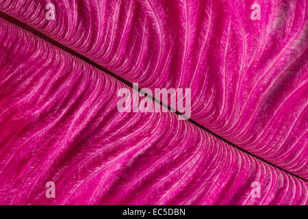 close up of a shocking pink feather - Stock Image
