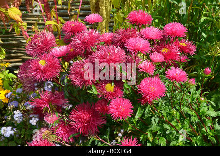 Colourful flower border with a close up of Callistephus chinensis 'Star Scarlet' - Stock Image