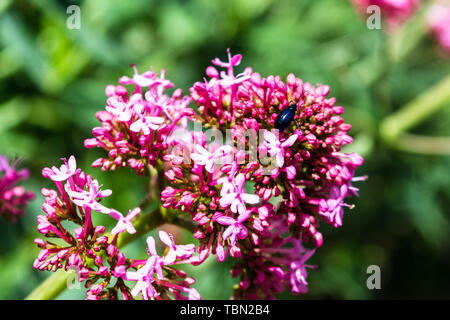 A red valerian Centranthus ruber flower with a Altica lythri beetle exploring the flowers - Stock Image