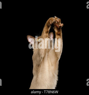 Cute Portrait of Playful Brown Burma Cat Raising up paws, play with toy, isolated on black background - Stock Image