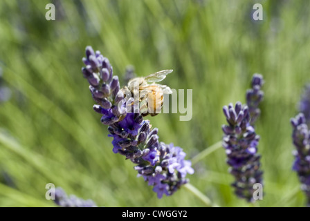 Bee Feeding on a Lavender Bloom - Stock Image