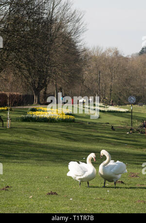 A pair of swans in Chester-le-Street riverside park, Co. Durham, England, UK - Stock Image