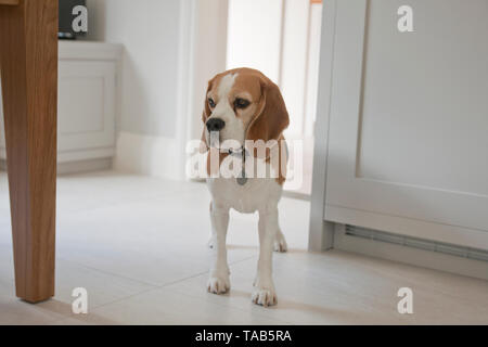 Beagle dog, young adult in house - Stock Image