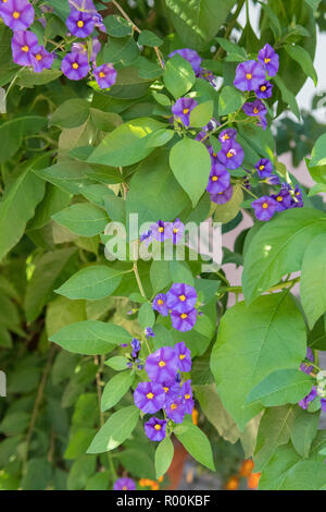 Lycianthes rantonnetii or Solanum rantonnetii - blue potato bush - flowers - Stock Image