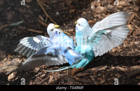 Fighting budgerigars at Tropical Wings Zoo, Chelmsford, Essex, UK. This zoo closed in December 2017. - Stock Image