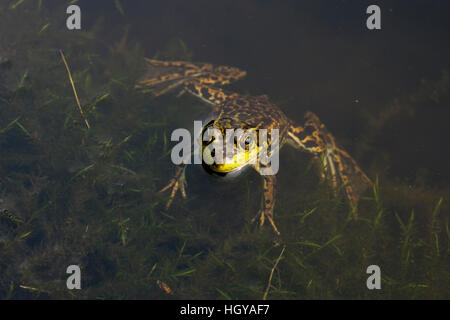 A green frog, Rana clamitans, in Scotts Bog, Pittsburg, New Hampshire.  Connecticut River Headwaters region. - Stock Image