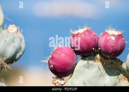Prickly pears, ( fragosika - ( Opuntia ) φραγκόσυκο ), tuna (fruit), sabra, nopal (paddle, plural nopales) Saronida, Greece, Europe. - Stock Image