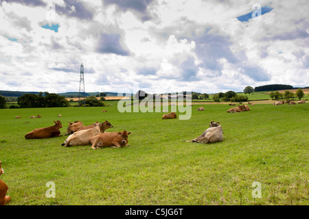 jersey calfs lying down in countryside meadow. - Stock Image