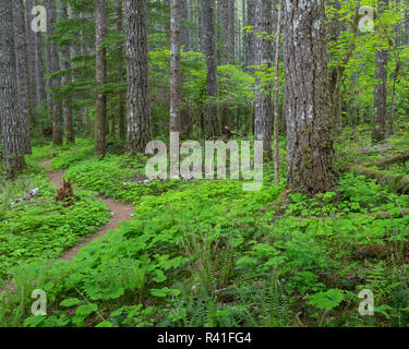 USA, Washington State, Gifford Pinchot National Forest. Lewis River Trail in forest. - Stock Image