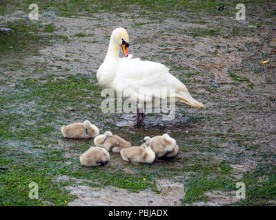 A mute swan Cygnus olor on a harbour basin at low tide with six cygnets - Stock Image