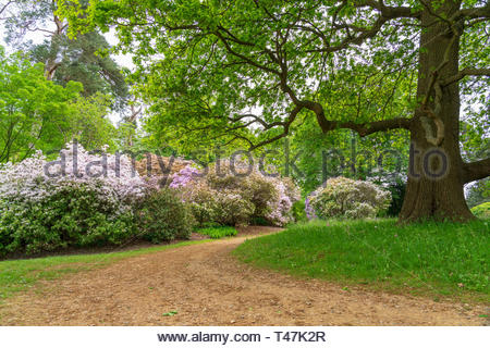 Spring colours showing through in Windsor Great Park - Stock Image