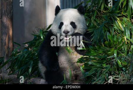 Giant panda eating bamboo at Chengdu Panda Breeding Research Center, Sichuan, China - Stock Image