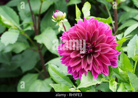 Dahlia 'Vancouver' in the garden. - Stock Image