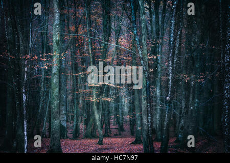 mysterious dark forest in autumn - Stock Image