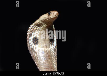 King Cobra, Naja naja, with flared hood against black background,Tamil Nadu, South India - Stock Image