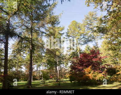 Japanese larch trees, Larix kaempferi, National arboretum, Westonbirt arboretum, Gloucestershire, England, UK - Stock Image
