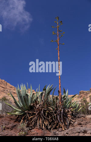 Agave plant on Gran Canaria, Canary Islands - Stock Image