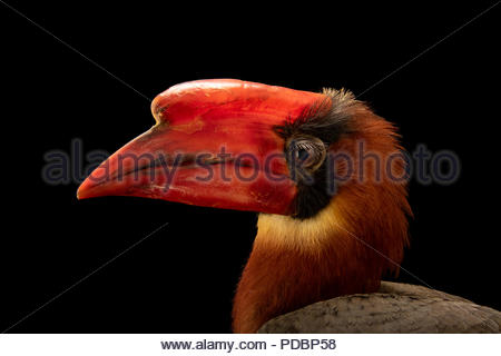 Male Luzon rufous hornbill, Buceros hydrocorax, at the Avilon Zoo. - Stock Image