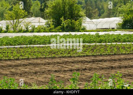 Crops growing in field - Stock Image