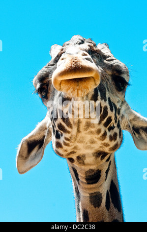 Funny Giraffe head viewed from below with exaggerated colors - Stock Image